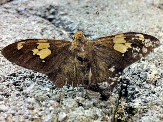 Long Tailed Skipper Moth
